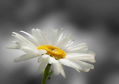 Photograph - Daisy by Veli Bariskan