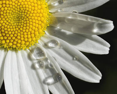 Daisy With Raindrops Art Print