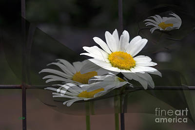 Photograph - Daisy's Away by Crystal Harman