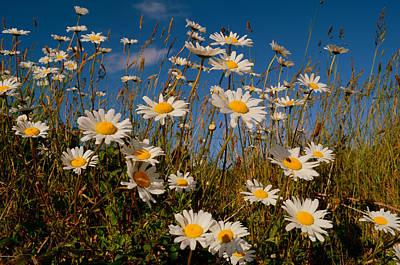 Photograph - Daisys by Barbara Walsh