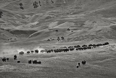 Tripple Photograph - Dakota Bison by Christian Heeb