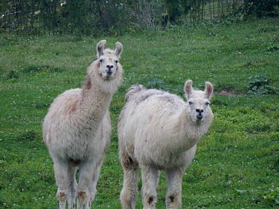 Photograph - Dali Llamas Part Deux by Wild Thing