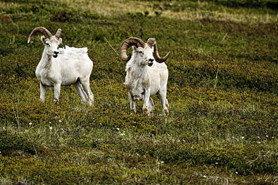 Photograph - Dall Rams On Alert by Wes and Dotty Weber