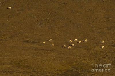 Alaska Wildlife Photograph - Dall Rams by Ron Sanford