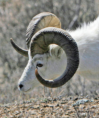 Photograph - Dall Sheep by G L McGrath