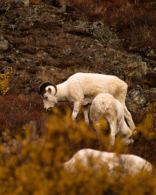 Photograph - Dall Sheep Grazing by Jeff Folger