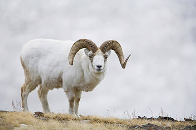 Winter Photograph - Dall Sheep Ram On Sheep Mountain by Milo Burcham
