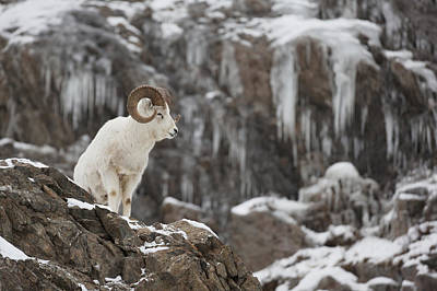 Dall Sheep Ram Stands On A Rocky Cliff Art Print by Doug Lindstrand