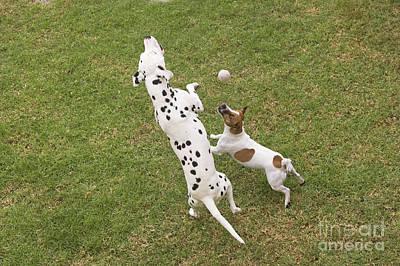 Two Dalmatian Photograph - Dalmatian & Jack Russell by Jean-Michel Labat