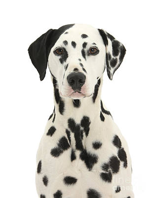 Years Old House Photograph - Dalmatian Dog by Mark Taylor