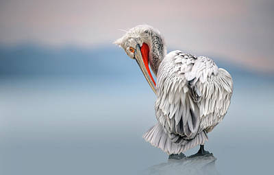 Pelican Wall Art - Photograph - Dalmatian Pelican At Dawn by Xavier Ortega