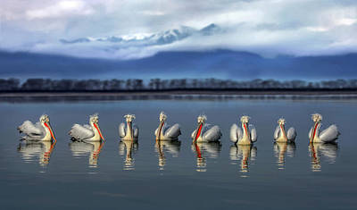 Pelican Wall Art - Photograph - Dalmatian Pelicans Meeting by Xavier Ortega