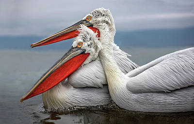 Pelican Photograph - Dalmatian Pelicans by Xavier Ortega