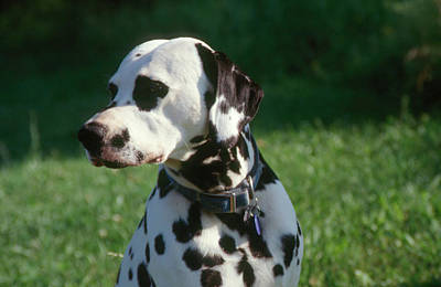 Photograph - Dalmatian Puppy by Bonnie Sue Rauch