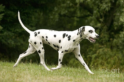 Dog Trots Photograph - Dalmatian Running by Jean-Michel Labat