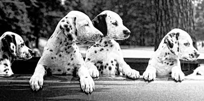 Photograph - Dalmations In A Truck by Rob Huntley