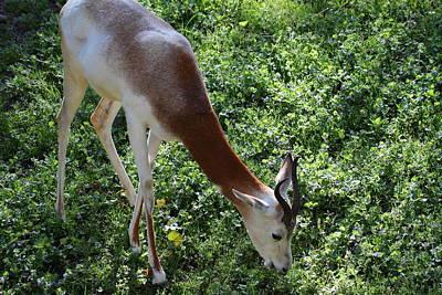Dama Gazelle - National Zoo - 01137 Print by DC Photographer