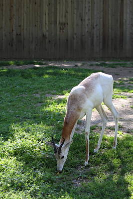 Zoological Photograph - Dama Gazelle - National Zoo - 01139 by DC Photographer