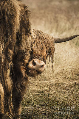 Photograph -  Highland Cow Damn Fleas by Linsey Williams