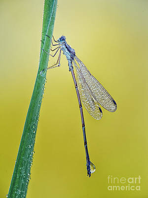 Damsel Fly Photograph - Damsel In The Morning by Todd Bielby