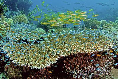 Undersea Photograph - Damselfish (pomacentridae by Jaynes Gallery