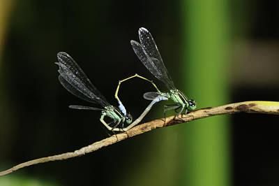 Photograph - Damselflies Mating by Bradford Martin