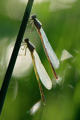 Damselflies Photograph - Damselflies On A Stalk by Dr. John Brackenbury