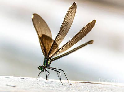 Photograph - Damselfly 2 by Cheryl Baxter