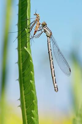 Feeding Photograph - Damselfly Feeding On A Crane Fly by Dr. John Brackenbury