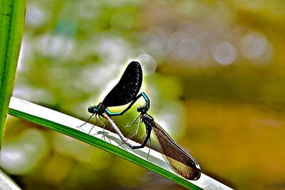 Photograph - Damselfly Love Is Heart-shaped And Bubbly by Byron Varvarigos