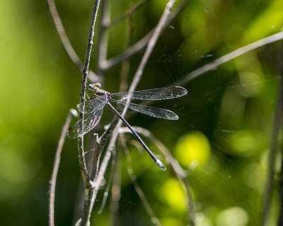 Photograph - Damselfly by Steve Thompson