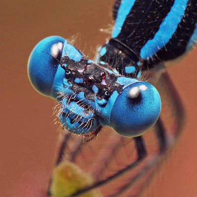 Photograph - Damselfly by Walter Klockers