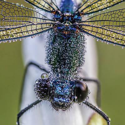 Dragonfly Photograph - Damselfly With Drops by Cure Vilaregut