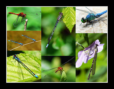 Photograph - Damsels And Dragons by Christina Rollo