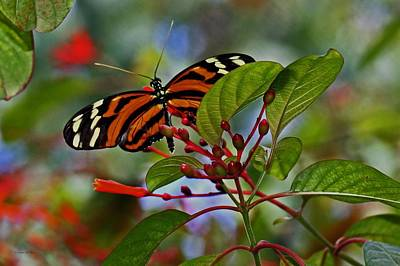 Photograph - Danaidae Butterfly by Suzanne Stout