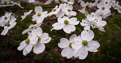 Photograph - Dance Of The Dogwoods by Wayne Meyer