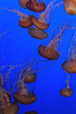 Photograph - Dance Of The Jellies by Michele Myers