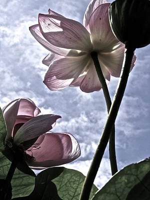 Photograph - Dance Of The Lotus - 1 by Larry Knipfing