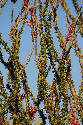 Photograph - Dance Of The Ocotillo by Dick Botkin