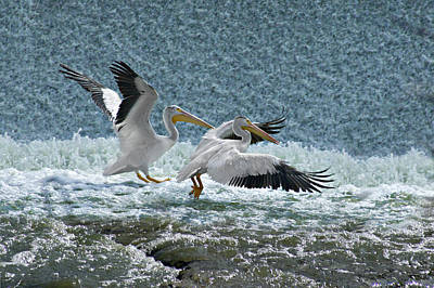 Dance Of The Pelicans Art Print by Judy  Johnson