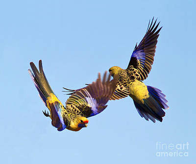 Australian Wildlife Photograph - Dance Of The Yellow Crimson Rosella by Bill  Robinson