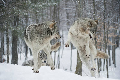 Art Print featuring the photograph Dances With Wolves by Wolves Only