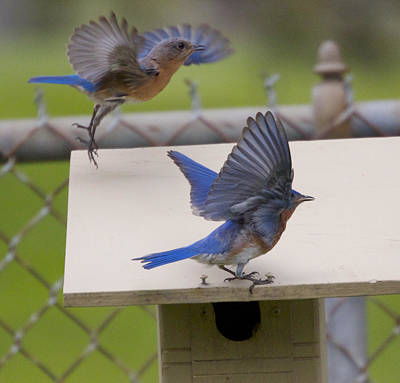 Photograph - Dancing Bluebirds by Heidi Hermes