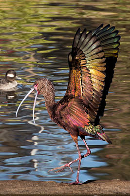 Photograph - Dancing Ibis by Kathleen Bishop