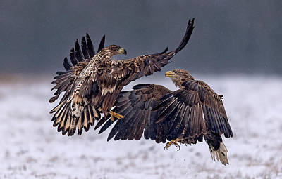 Eagle Photograph - Dancing In The Snow by Xavier Ortega