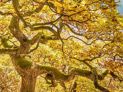 Knorrig Photograph - Dancing Oak Dryad. Autumn Yellow by Martin Liebermann