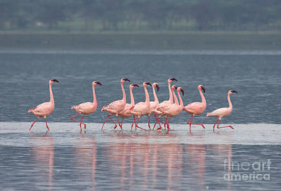 Photograph - Dancing Pink Flamingos  by Chris Scroggins