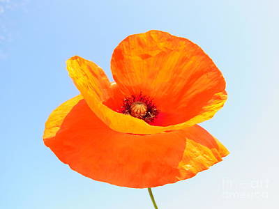 Photograph - Dancing Poppy by Agnieszka Ledwon