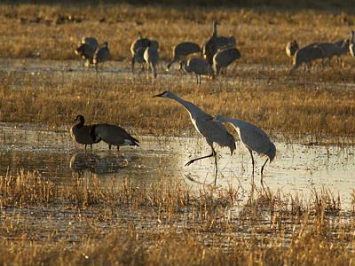 Photograph - Dancing Sandhill Cranes by Jean Noren