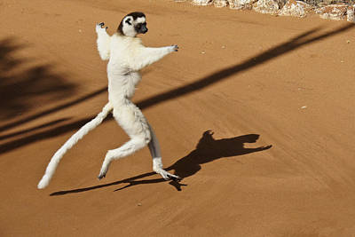 Photograph - Dancing Sifaka 1 by Michele Burgess